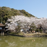 和歌山県根来寺の桜